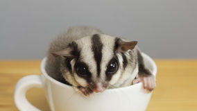A cup of sugarglider. A sugar glider in a cup of coffee royalty free stock photo