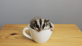 A cup of sugarglider. Stock Image