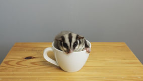 A cup of sugarglider. A sugar glider in a cup of coffee stock photography