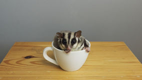 A cup of sugarglider. A sugar glider in a cup of coffee stock images