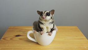 A cup of sugarglider. A sugar glider in a cup of coffee stock photo