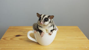 A cup of sugarglider. Royalty Free Stock Photo
