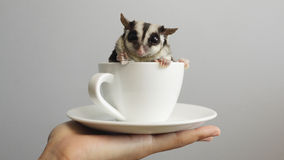 A cup of sugarglider. A sugar glider in a cup of coffee royalty free stock photography