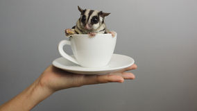 A cup of sugarglider. A sugar glider in a cup of coffee royalty free stock photos