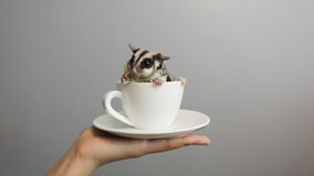 A cup of sugarglider. A sugar glider in a cup of coffee stock image