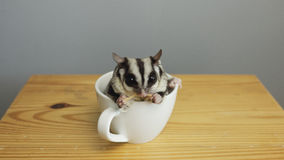 A cup of sugarglider. A sugar glider in a cup of coffee royalty free stock image