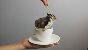 A cup of sugarglider. A sugar glider in a cup of coffee royalty free stock images