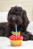 Cupcake with candle and black furry dog lying on white chair wearing a birthday party hat in the background royalty free stock photos
