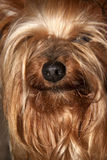 Cupcake yorkie dog Royalty Free Stock Image