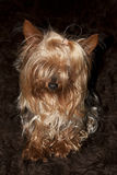 Cupcake yorkie dog sitting Royalty Free Stock Images