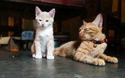 Cupha le chat de bébé et sa maman photographie stock