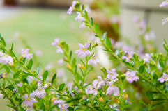 Cuphea hyssopifolia (hellpurpurn) Stockfotos