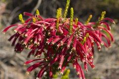 Cuphea Ignea, Cigarette bush, Firecracker plant Royalty Free Stock Image