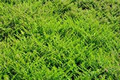 Cupheaignea background Stock Photo