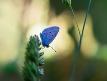 Cupido (Everes) alcetas - Provencal Short Tailed Blue. Stock Images