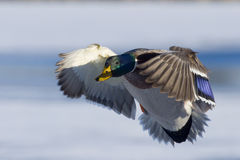 Cupped Drake Mallard. Drake Mallard with wings cupped about to land Royalty Free Stock Photos