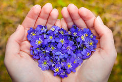 Cupped hands holding spring violet flowers in heart shape Royalty Free Stock Image