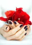 Cupped hands with manicure holding red flower. Closeup woman hands with dark nails holding delicate red flower Stock Image