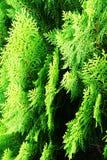 Cupressaceae Fotografía de archivo