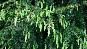 Cupressaceae Stockfotos
