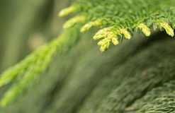 Cupressaceae Stock Photos