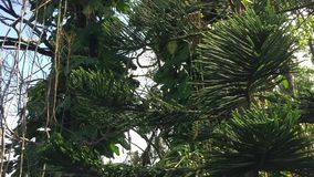 Cupressaceae trees at the park. In Can Tho city, Vietnam stock video footage