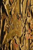 Cupressus arizonica, Allergens Plants stock images