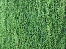 Cupressus greenery tekstura Obrazy Stock