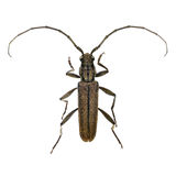 Cupressus Long-horned Beetle Royalty Free Stock Image