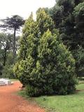 Cupressus occidentalis zdjęcie royalty free