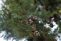 Cupressus sempervirens the Mediterranean cyprus tree. The Mediterranean cyprus, Cupressa sempervirens, showing its ball-shaped cones open to release seeds Royalty Free Stock Photos