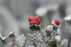 Cups moss on the Drenthe heath Royalty Free Stock Photography