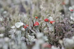 Cups moss on the Drenthe heath Stock Photography