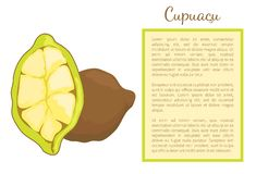 Cupuacu Exotic Cupuassu Cupuazu and Copoasu Poster. Cupuacu exotic cupuassu, cupuazu and copoasu, tropical rainforest fruit whole and cut. Cacao dieting vector illustration