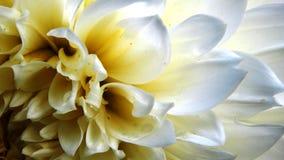 Cœur de Dahlia Royalty Free Stock Images