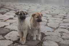 Cur puppy in foggy day on the stone lane. mist and dogs royalty free stock images