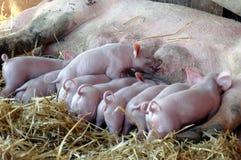 Cura dei porcellini Fotografia Stock