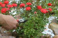 cura delle rose rosse del giardino fotografia stock