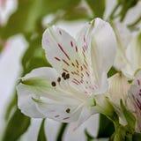 Cura di Alstroemeria del fiore bianco Fotografie Stock