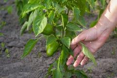 Cura per i peperoni crescenti nel giardino Le mani del ` s degli uomini trascurano i peperoni verdi Fotografia Stock Libera da Diritti