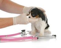 Cura veterinaria Immagine Stock