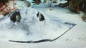 Curacanpijlstaartrog Stock Afbeeldingen