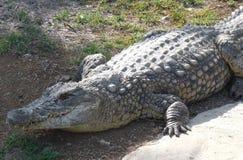 Curacao crocodile. Crocodile on a farm in Curacao Stock Photography