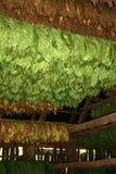 Curado de las plantas de tabaco, Cuba Imagenes de archivo