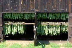Curado del tabaco de hoja de la cortina Imagen de archivo libre de regalías