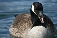 Curandero del ganso de Canadá foto de archivo libre de regalías