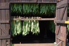 Curando o tabaco em folhas da máscara Fotografia de Stock Royalty Free