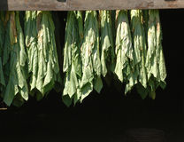 Curando o tabaco em folhas da máscara Imagens de Stock