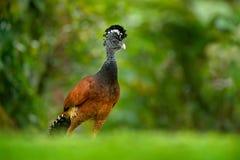 Curassow Desencapado-enfrentado, fasciolata do Crax, pássaro preto grande com conta amarela no habitat da natureza, Costa Rica Ce imagens de stock royalty free