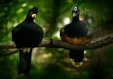 Curassow effronté, fasciolata de Crax, grand oiseau noir avec la facture de yellew dans l'habitat de nature, alto de Barranco, Pa Photographie stock libre de droits